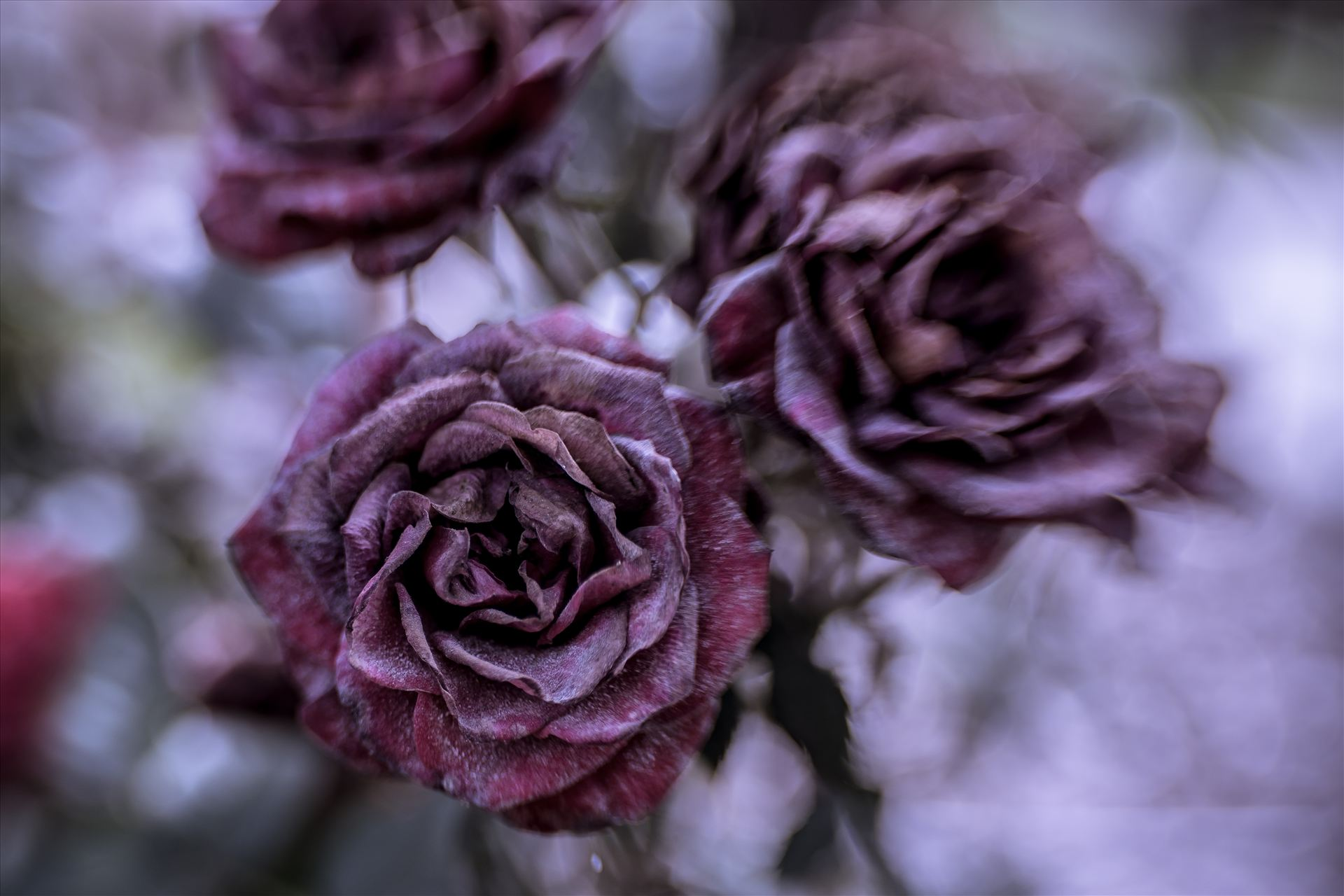 Frozen Rose.jpg - Dried roses frozen in time by Sarah Williams