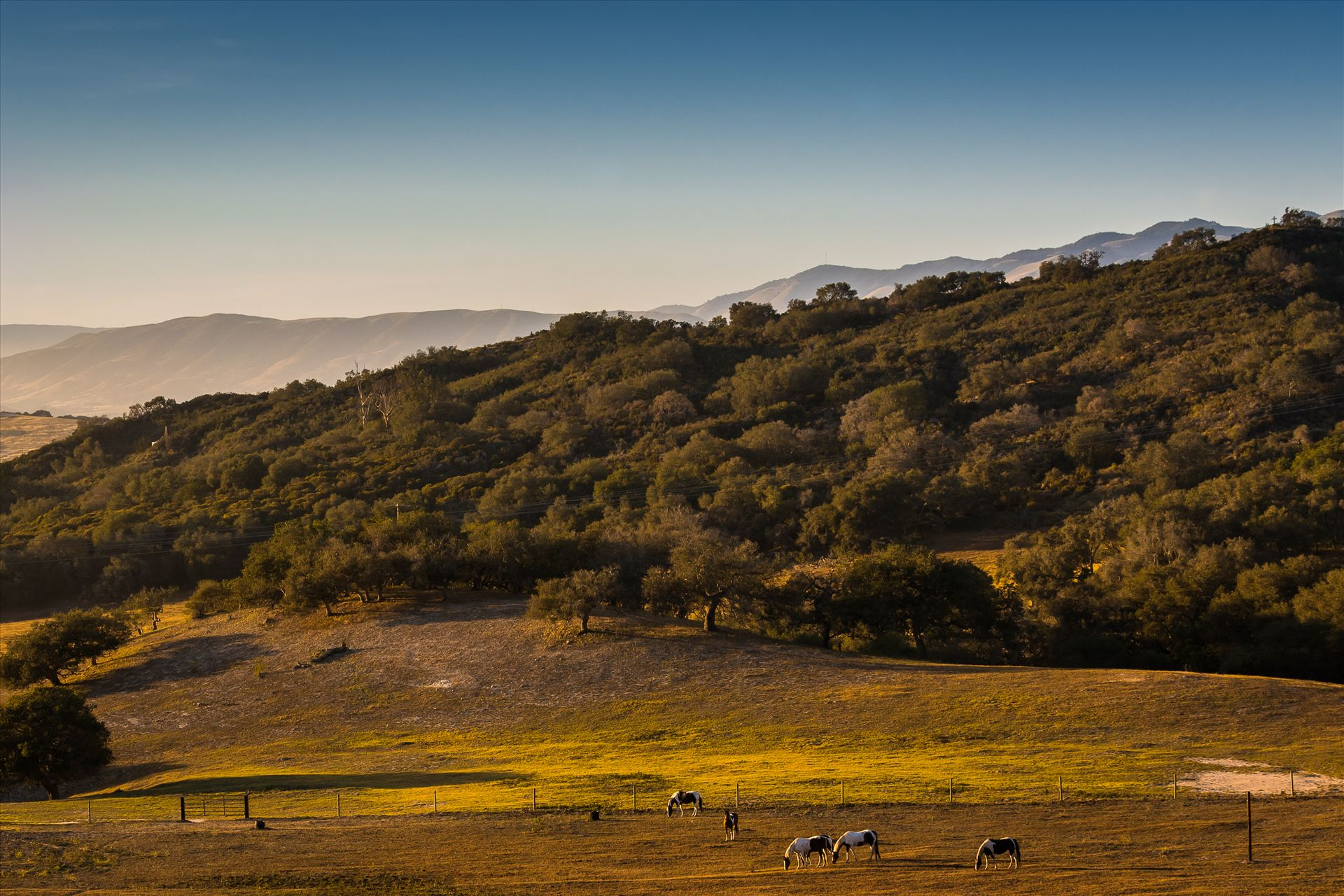 Grazing at Sunset.jpg - Horses grazing in a golden field at sunset in Arroyo Grande, California by Sarah Williams