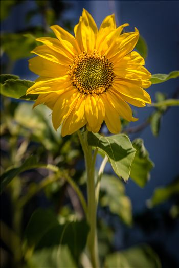Sunflower Smiles.jpg - Lone sunflower basking in the last light of a California day