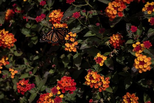 Monarch butterfly landing on bright flowers on California's Central Coast near Pismo Beach.