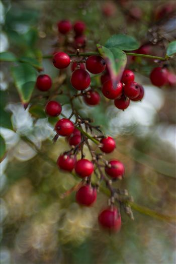 Seasons change with red and green berries