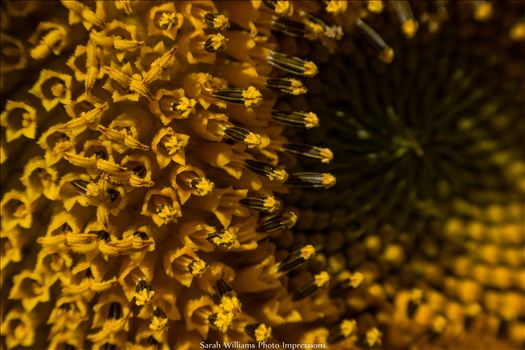 Sunflower Vortex.jpg -