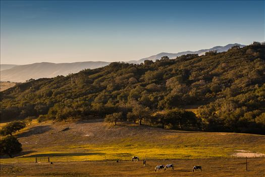 Horses grazing in a golden field at sunset in Arroyo Grande, California