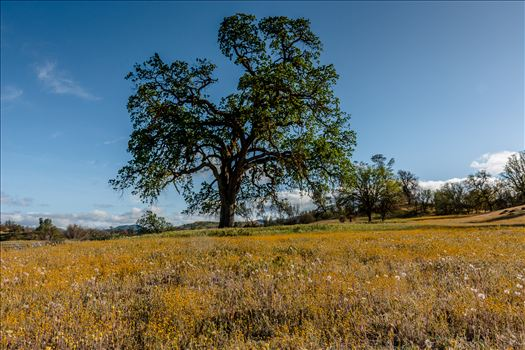 Shell Creek Oak Tree.jpg - Golden fields and an Oak in spring in Paso Robles California