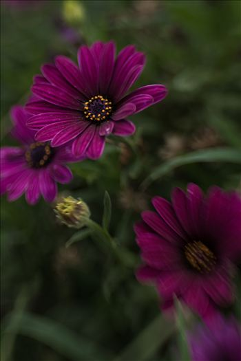 Purple Velvet Daisies.jpg - Velvet soft daisies in a sea of green bokeh