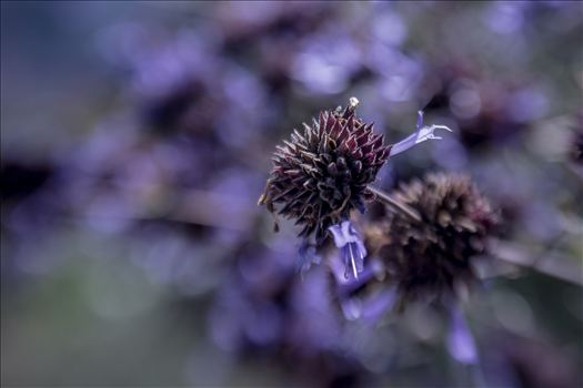 Purple Haze.jpg - Flower in a sea of purple bokeh