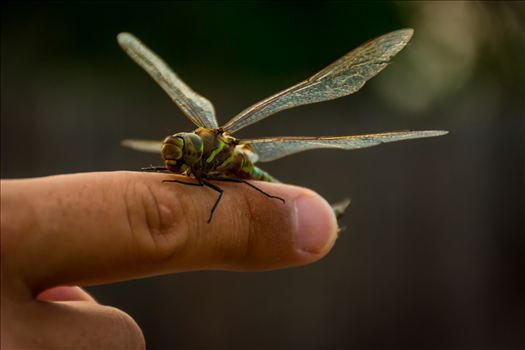 All the Little Creatures.jpg - Dragonfly landing on a man's finger; man and animal inspirationally bonded.